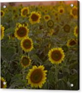 Dreaming In Sunflowers Acrylic Print