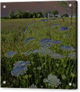 Dreaming Of Queen Annes Lace Acrylic Print