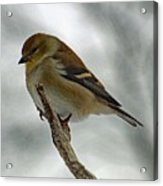 Dreaming Of Spring - American Goldfinch Acrylic Print