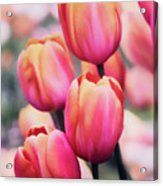 Dreaming Tulips Acrylic Print