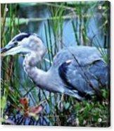 Dreamland Great Blue Heron Acrylic Print