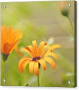 Dreams Of Orange Symphony In Spring  Acrylic Print