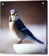 Dreamy Blue Jay Acrylic Print