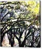 Dreamy Live Oaks Acrylic Print
