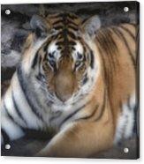 Dreamy Tiger Acrylic Print