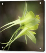 Dreamy Yellow Columbine Acrylic Print