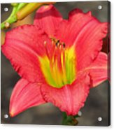 Dressed In Pink Acrylic Print