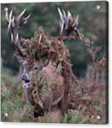 Dressed Red Stag Acrylic Print