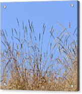 Dried Grass Blue Sky Acrylic Print