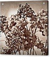 Dried Hydrangeas Acrylic Print