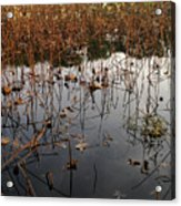 Dried Lotus In The Lake Acrylic Print