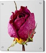 Dried Rose 4 Acrylic Print