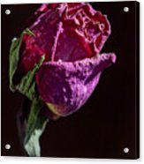 Dried Rose Late In The Afternoon Acrylic Print
