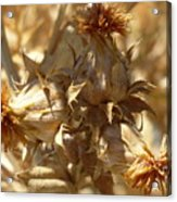 Dried Safflower Acrylic Print