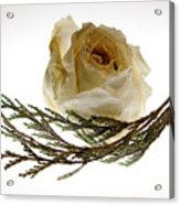 Dried White Rose Acrylic Print
