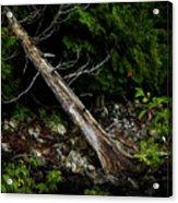Drifted Tree Acrylic Print