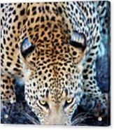 Drinking Leopard Acrylic Print