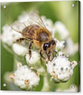 Drinking Up The Nectar, Apis Mellifera Acrylic Print
