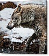 Drinking Wolf Acrylic Print