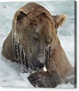 Dripping Grizzly Bear Acrylic Print