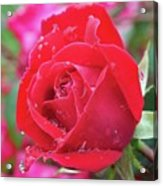 Dripping In Beauty - Double Knock Out Rose Acrylic Print
