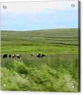 Driveby Shooting No.17 Cows Acrylic Print