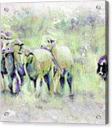 Driving Sheep Acrylic Print