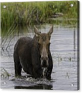 Drooling Cow Moose Acrylic Print