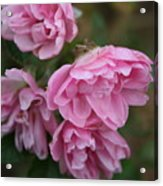 Droopy Pink Roses Acrylic Print