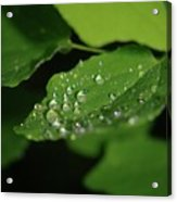Droplets On A Leaf  Acrylic Print