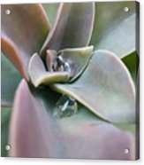 Droplets On Succulent Acrylic Print