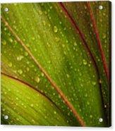 Droplets On Ti Leaves Acrylic Print