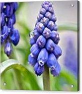 Drops Met Hyacinth Acrylic Print