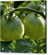 Drops On Immature Green Tomatoes After A Rain Shower Acrylic Print by Sami Sarkis