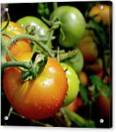 Drops On Immature Red And Green Tomato Acrylic Print by Sami Sarkis