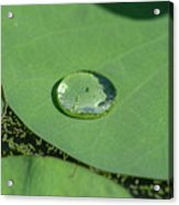 Drops On Lotus Leaf Acrylic Print