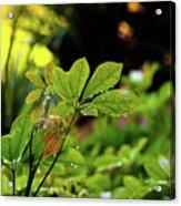 Drops On Plants After Morning Rain Acrylic Print