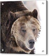 Drowsy Bear Acrylic Print