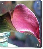 Drowsy Calla Lily Acrylic Print