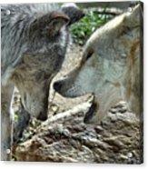 Druid Pack Yellowstone Acrylic Print