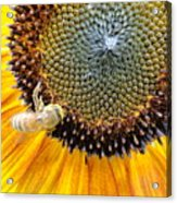 Drunken Bee Acrylic Print