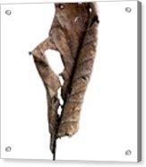 Dry Leaf Acrylic Print by Bernard Jaubert