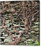 Dry Stone Wall And Vine Acrylic Print