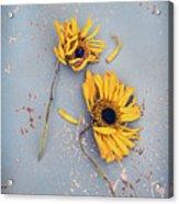 Dry Sunflowers On Blue Acrylic Print