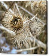 Dry Thistle Buds Acrylic Print