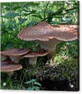Dryad's Saddle Fungus Acrylic Print