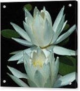 Dual Lilies Acrylic Print