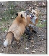 Dualing Red Foxes Acrylic Print
