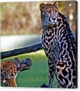 Dubbo Zoo Queen - King Cheetah And Cub Acrylic Print
