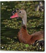 Duck 10 Acrylic Print